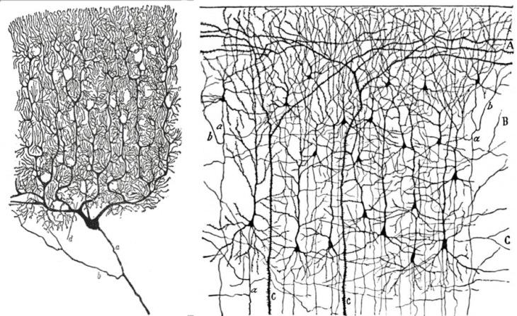 corteccia-e-cervelletto