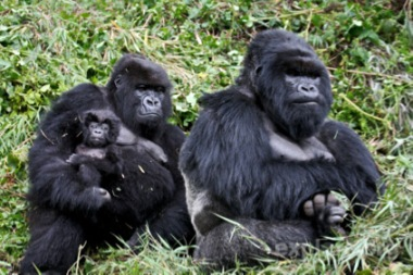 gorillas-family
