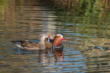 mandarin-ducks-2171881_640